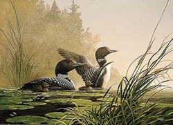 Northern Spring Loons