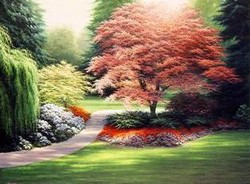 Japanese Maples II