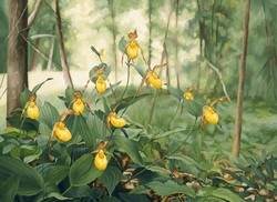 Ladyslipper Yellow