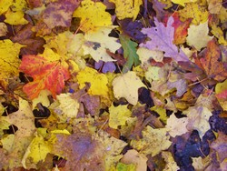 Many Fall Leaves