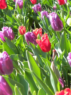 Tulips in NC